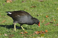Common moorhen gallinula chloropus foraging on short grass Stock Image