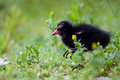 Common moorhen juvenile walking through grass Stock Photos