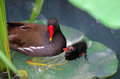 A Common Moorhen and a nestling Royalty Free Stock Photo