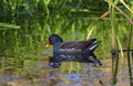 Common Moorhen Or Swamp Chicke...