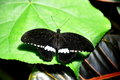 Common Mormon Butterfly,aka,Papilio polytes Royalty Free Stock Photography