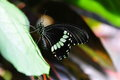 Common Mormon Butterfly,aka,Papilio polytes Stock Photography