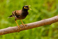 Common Myna Stock Image