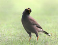 Common myna in bangkok thailand Royalty Free Stock Image