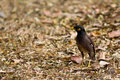 The common myna living on ground covered with dry leaves Stock Image
