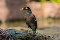 Common myna proudly walks through the grassy lawn of the hotel in thailand or indian acridotheres tristis Stock Photo