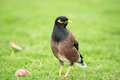 Common myna songbird in hawaii walking on a lawn looking for food and staring with bright blue eyes Stock Images