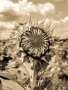 Field of Sunflowers (Helianthus Annuus) Royalty Free Stock Photo