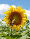 Butterfly on Sunflower Helianthus Annuus Royalty Free Stock Photo
