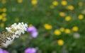 Common nettle bug on a white buddleia