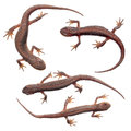 Common newts isolated on white Royalty Free Stock Photo