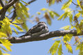 Common Nighthawk Royalty Free Stock Photography