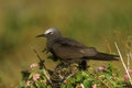Common noddy, Anous stolidus Royalty Free Stock Photo
