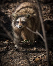 Common North American Raccoon Royalty Free Stock Photo