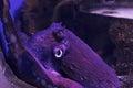 Common Octopus. Wildlife Animal.