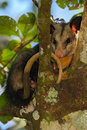 Common Opossum, Didelphis marsupialis, wild nature, curious mammal in the nature habitat, animal in the tree branch, Costa Rica Royalty Free Stock Photo