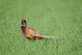 Common pheasant Stock Photo