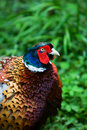 Common pheasant Royalty Free Stock Photo