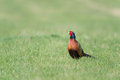 Common pheasant in a green meadow Stock Images