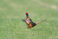 Common pheasant in a green meadow Royalty Free Stock Photos
