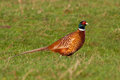 Common pheasant phasianus colchicum in the meadow Royalty Free Stock Photos
