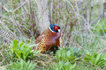 Common pheasant, phasianus colchicus Royalty Free Stock Images
