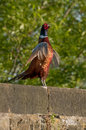 Common pheasant phasianus colchicus male standing on a wall crowing Stock Photos