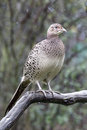 Common pheasant phasianus colchicus single female on branch warwickshire october Stock Images