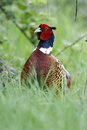 Common pheasant phasianus colchicus single male head shot in grass warwickshire may Royalty Free Stock Images