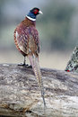 Common pheasant phasianus colchicus single male on log warwickshire november Royalty Free Stock Image