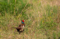 Common pheasant in riverine bush a male phasianus colchicus opens it s way through the thick undergrowth which is it s Royalty Free Stock Images