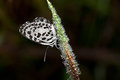 Common Pierrot Stock Photography