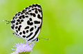 Common Pierrot, Castalius rosimon, white butterfly Stock Images