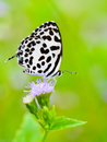 Common Pierrot, Castalius rosimon, white butterfly Royalty Free Stock Photo