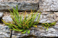 Common polypody at a drystone wall Royalty Free Stock Photo