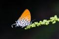 Common posy butterfly close up of drupadia ravindra feeding in nature Stock Image