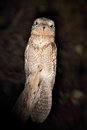 Common Potoo, Nyctibius griseus, nocturnal tropic bird sitting on the tree branch, night action scene, animal in the dark nature h Royalty Free Stock Photo