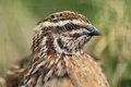 Common quail Royalty Free Stock Photo