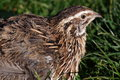 Common quail the in the grassland Stock Photos