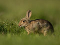 Common rabbit oryctolagus cuniculus adult grazing Stock Photography
