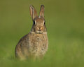 Common rabbit oryctolagus cuniculus alerted young Stock Photo