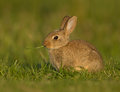 Common rabbit oryctolagus cuniculus cute young with a blade on grass in the meadow Royalty Free Stock Photos