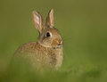 Common rabbit oryctolagus cuniculus young grazing Royalty Free Stock Photo