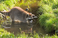 Common raccoon or procyon lotor in evening sun searching for food in water Stock Photo