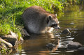 Common raccoon or procyon lotor in evening sun searching for food in water horizontal Stock Images