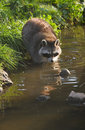 Common raccoon or procyon lotor in evening sun searching for food in water vertical Stock Photo