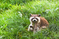 Common raccoon or procyon lotor sitting on grass holding clover Stock Images