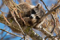 Common Raccoon Royalty Free Stock Photo