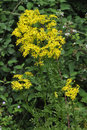 Common Ragwort Royalty Free Stock Photo