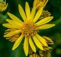 Common ragwort portrait of senecio jacobaea Royalty Free Stock Images